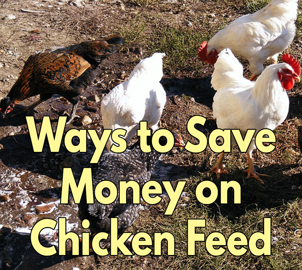 Way-to-save-money-on-chicken-feed