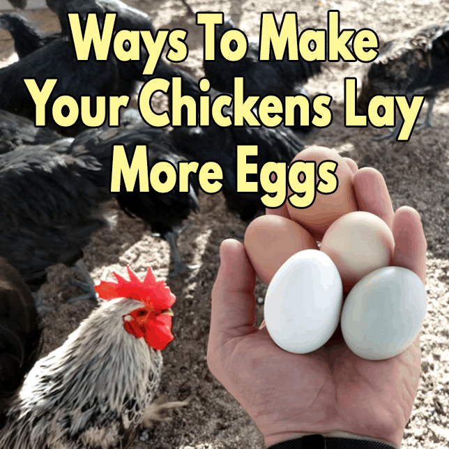 Ways to make your chickens lay more eggs