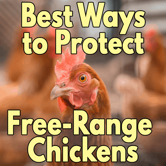 Ways to Protect Free-Range Chickens