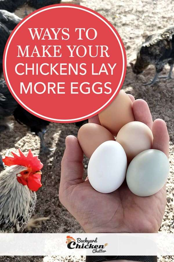 Ways to get chickens to lay more eggs
