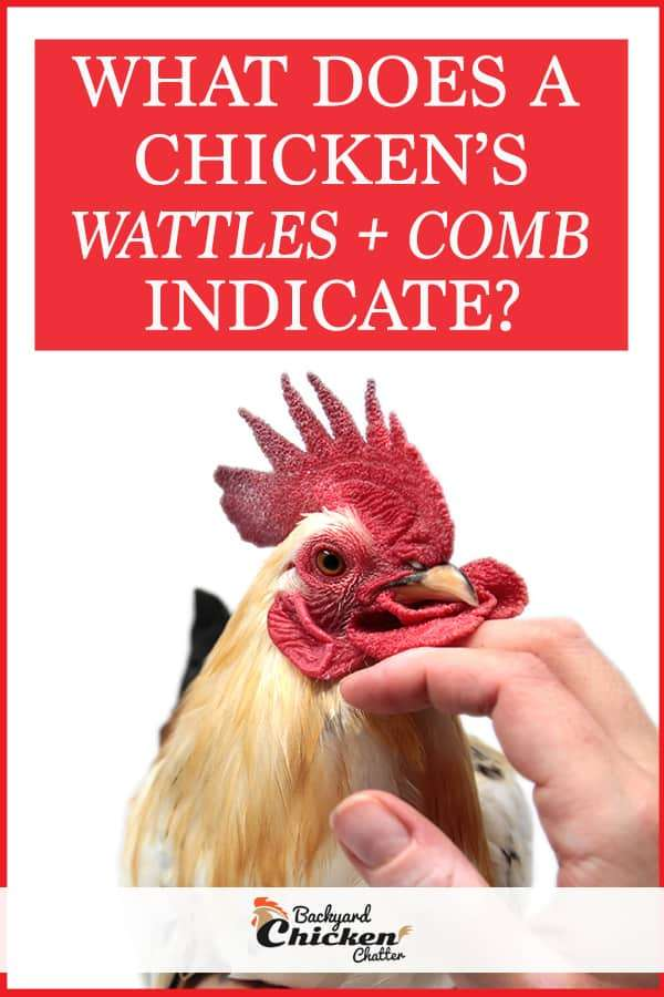 What Does A Chickens Wattles and Comb Indicate?