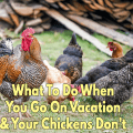 What To Do When You Go On Vacation & Your Chickens Don't