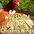 Why Should I clip my chickens's wings