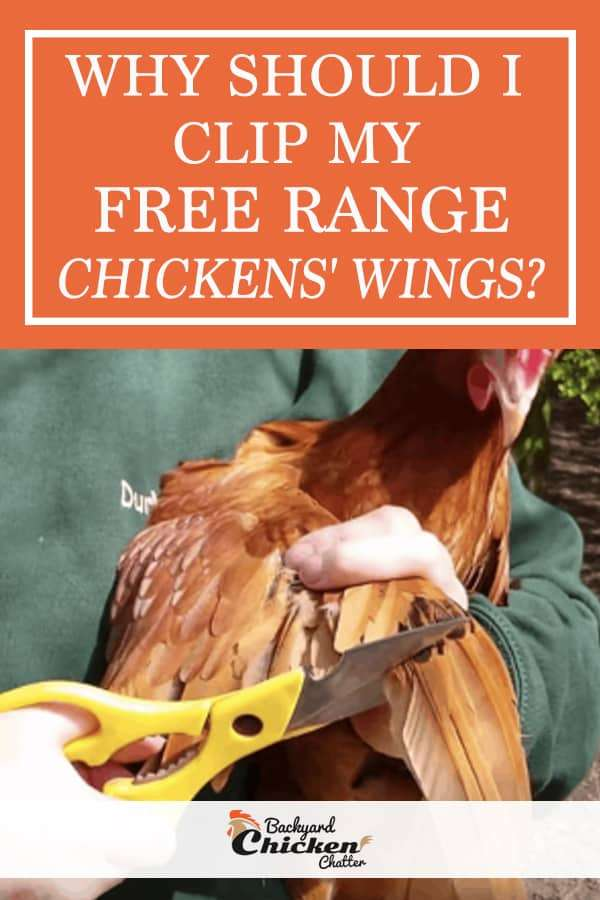 Why should I clip my Free Range Chickens Wings?