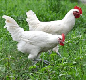 American Bresse Chickens