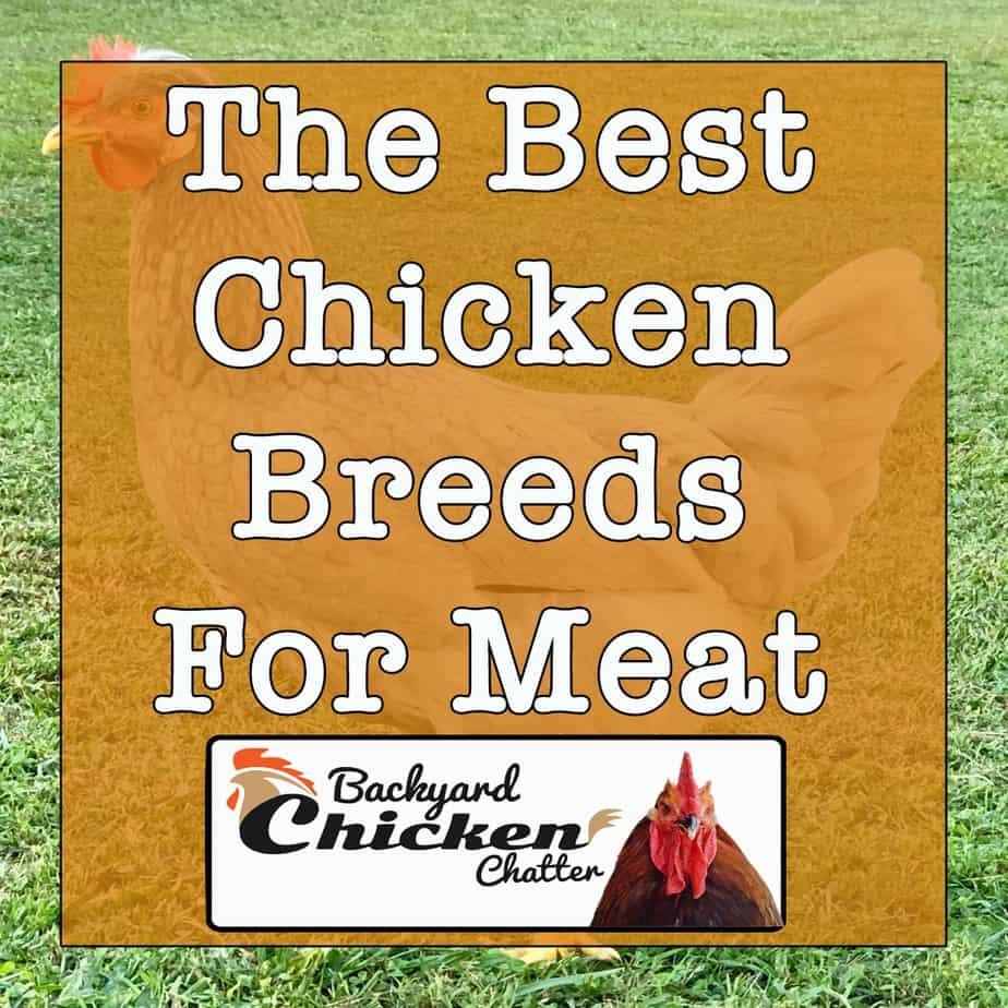 Best-Chicken-Breeds-for-Meat