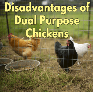 Disadvantages of Dual Purpose Chickens