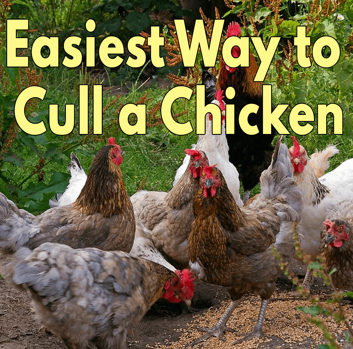 Easiest Way to Cull a Chicken
