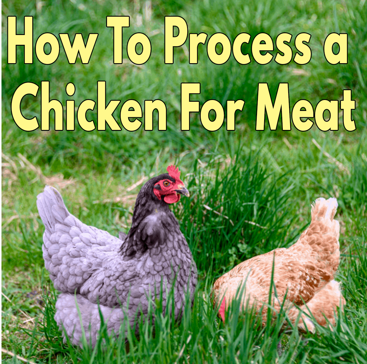 How To Process a Chicken For Meat