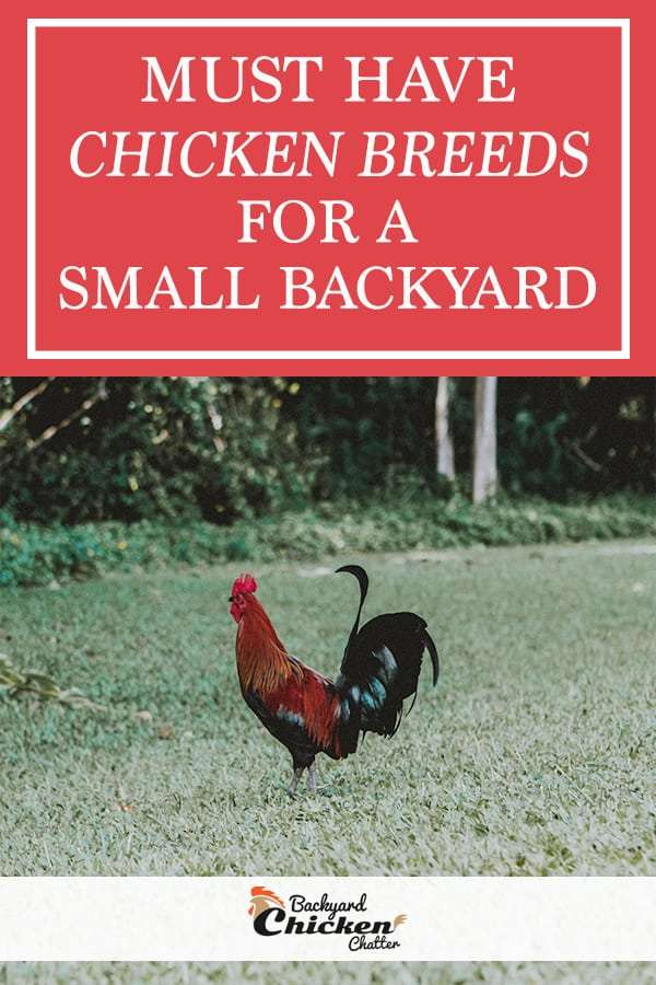 Must have chicken breeds for a small backyard