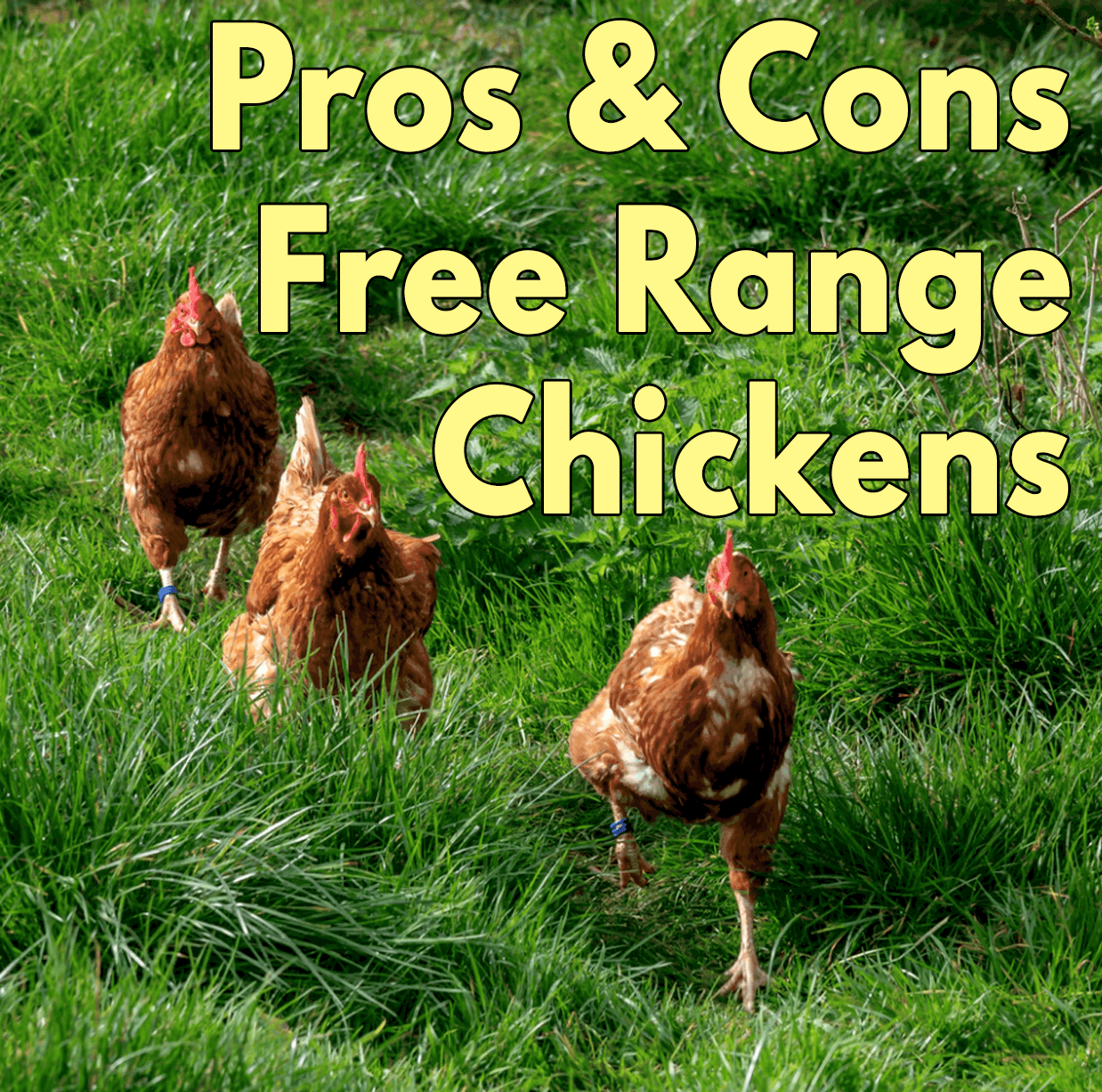 Pros and Cons of Free range chickens