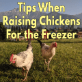 Tips When Raising Chickens For the Freezer