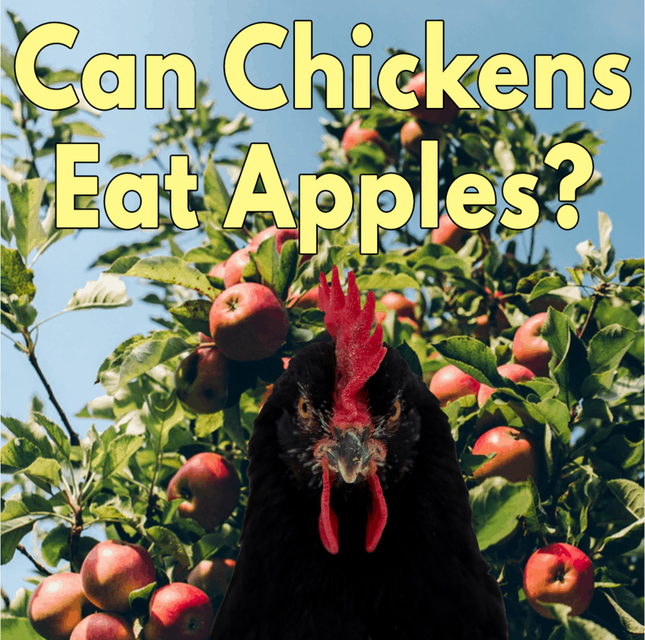 Can-Chickens-Eat-Apples-