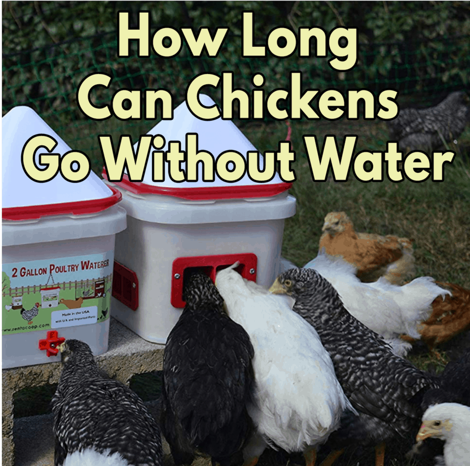How-Long-Can-Chicken-Go-Without-Water-