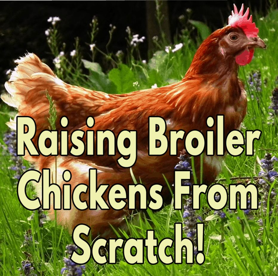 Raising-Broiler-Chickens-From-Scratch