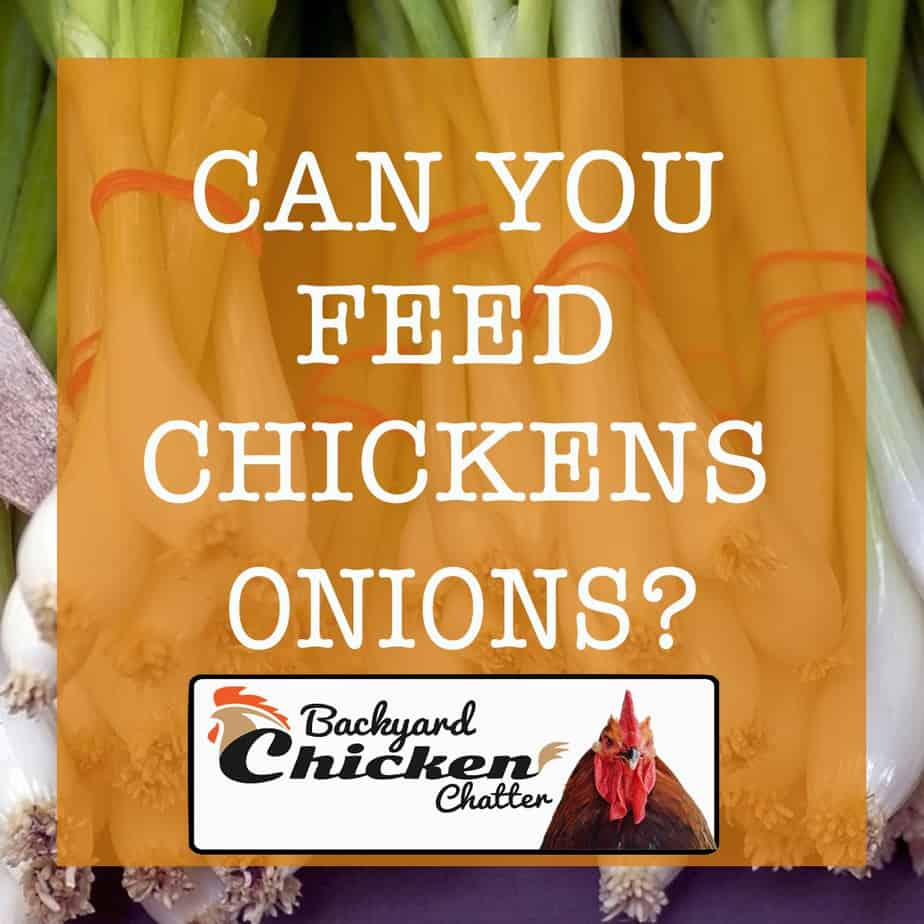 CAN-CHICKENS-EAT-ONIONS