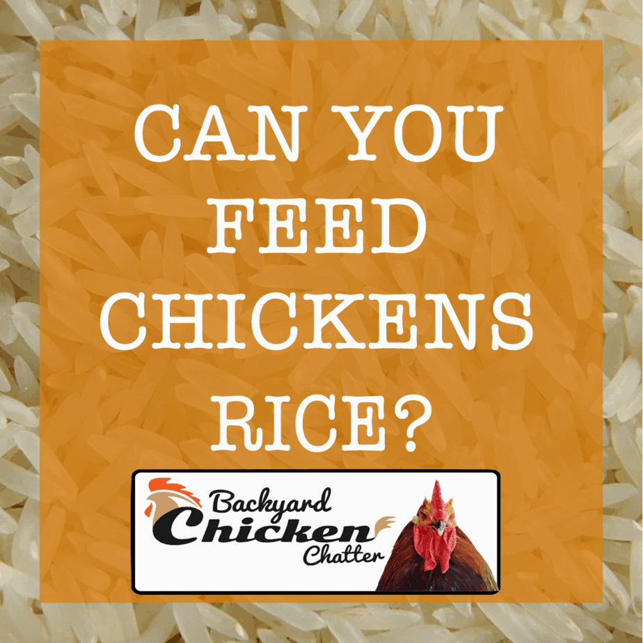 CAN YOU FEED CHICKENS RICE?