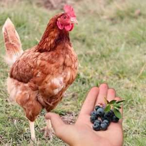 Can-Chickens-Eat-Blueberries
