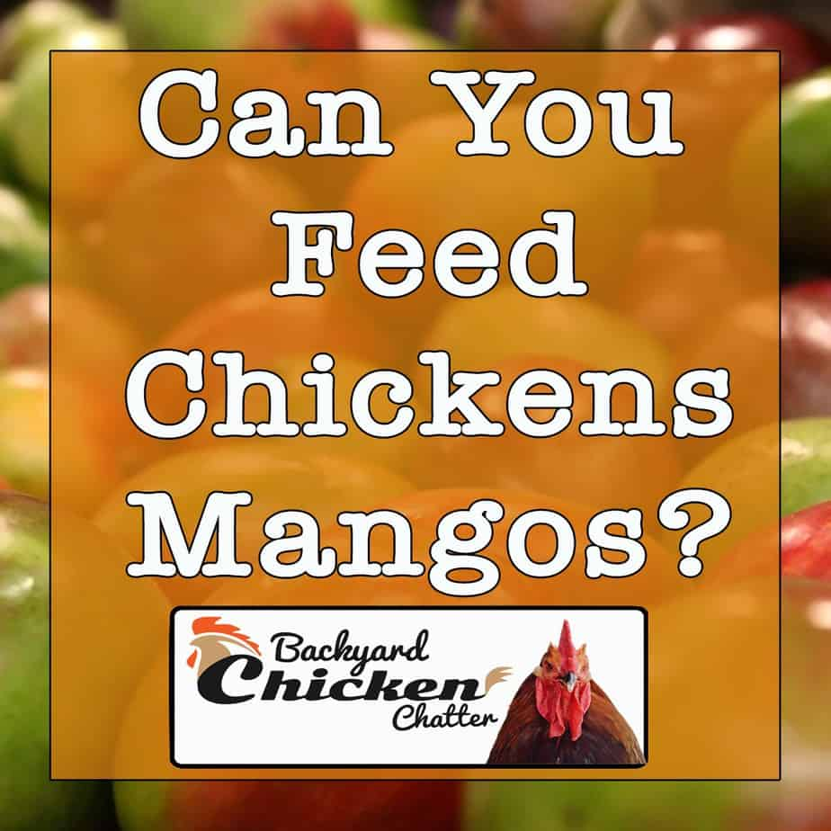 Can-Chickens-Eat-Mangos