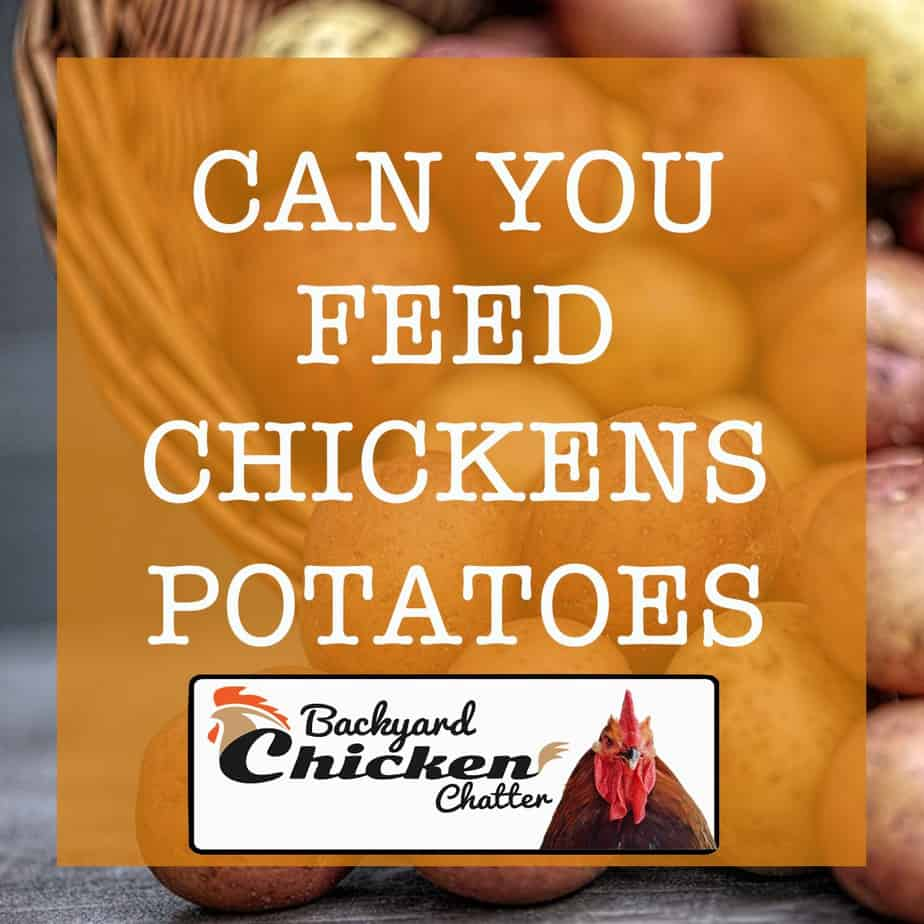 Can-You-Feed-Chickens-Potatoes