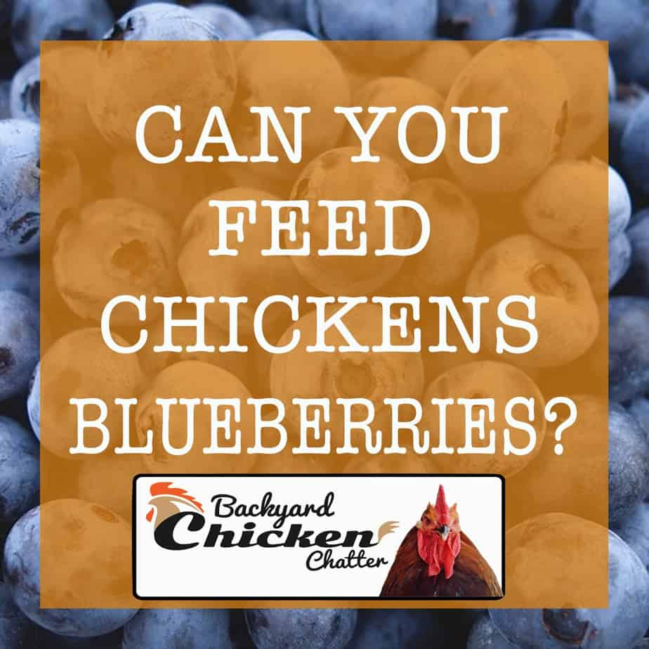 Can You feed Chickens Blueberries?