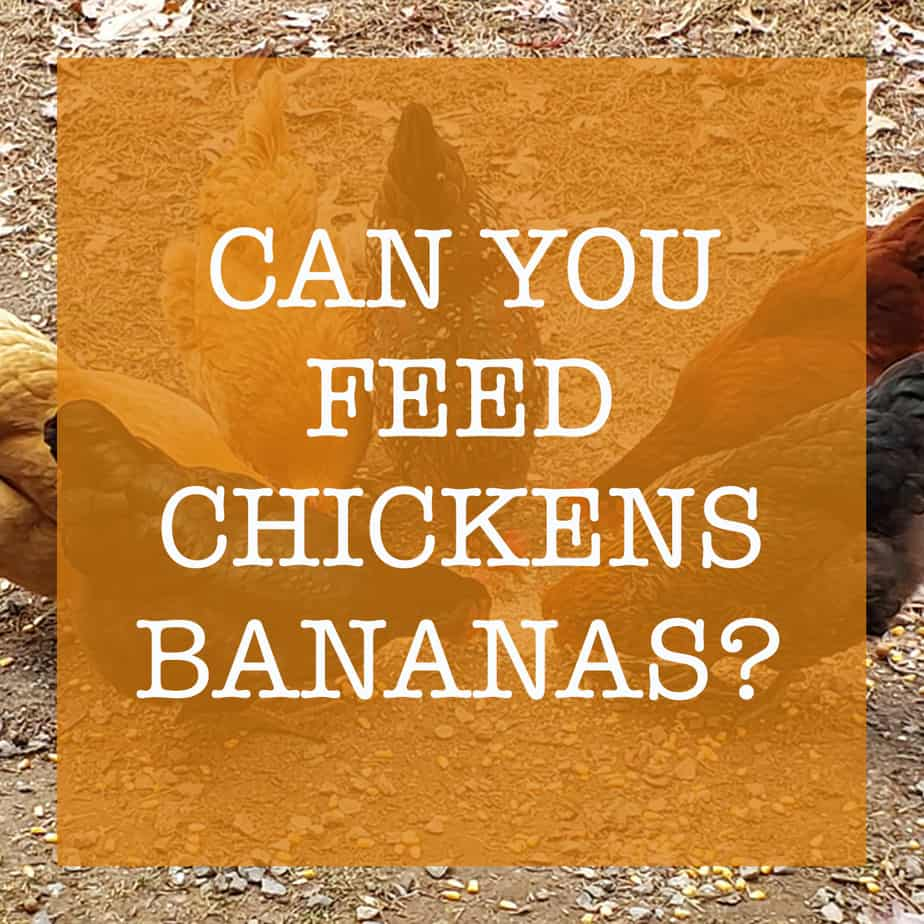 Can Chickens Eat Bananas