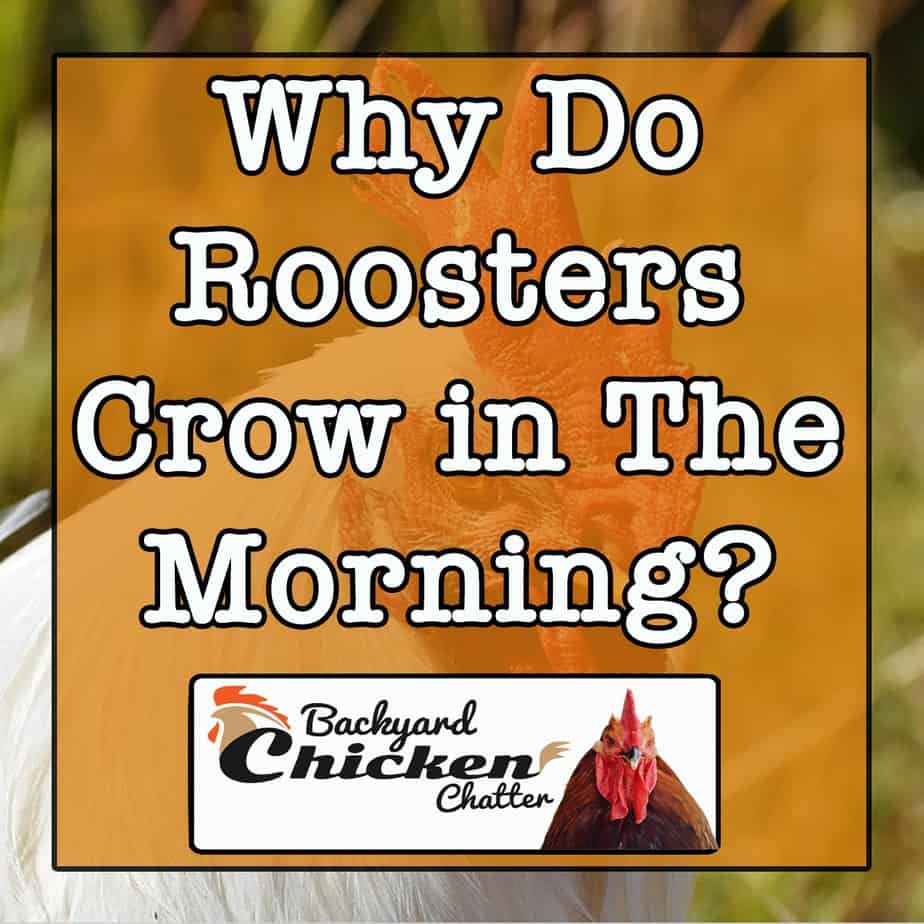 Why-do-roosters-Crow-in-the-morning-