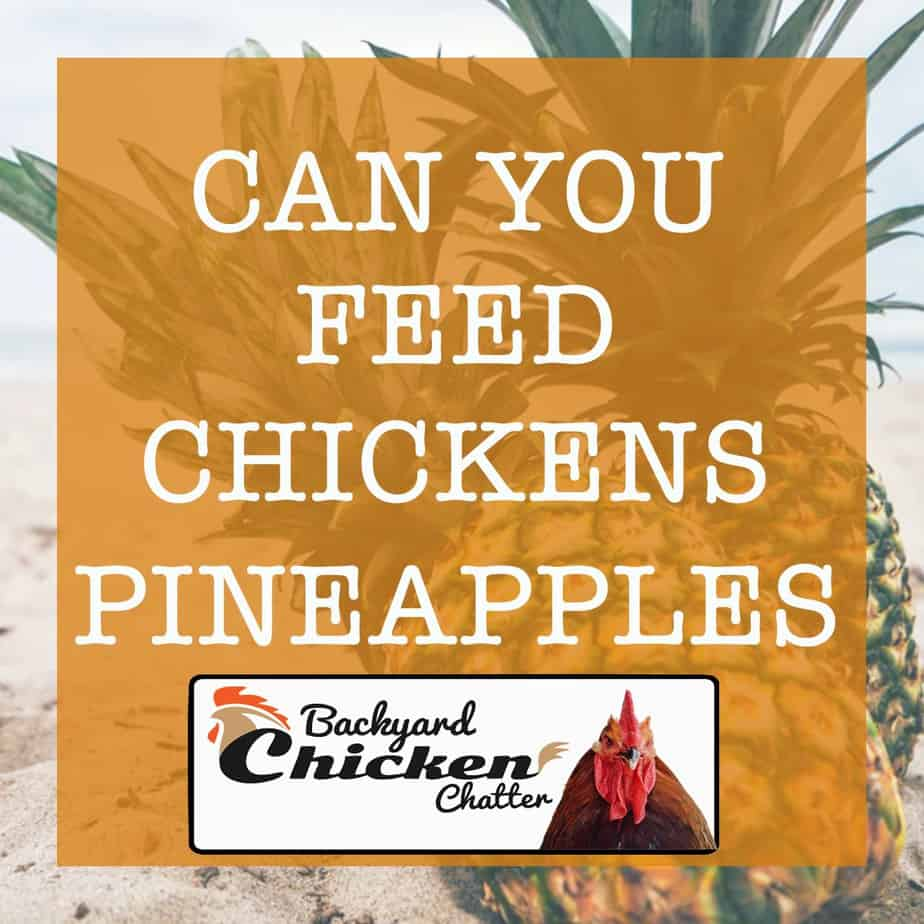 can-chickens-eat-pineapple