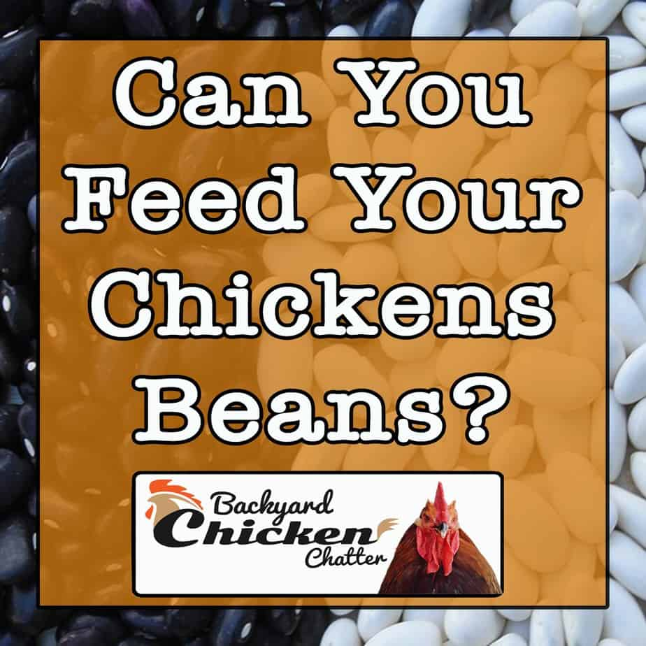 Can You Feed Your Chickens Beans?