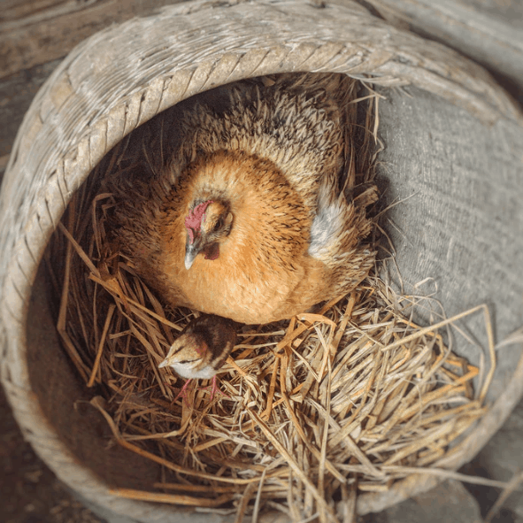 10 truths about fertile eggs