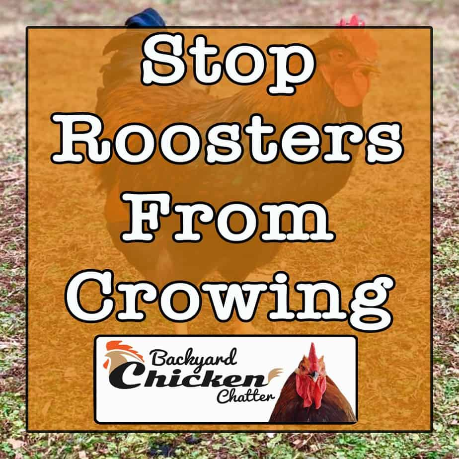 How-to-Stop-Roosters-From-Crowing