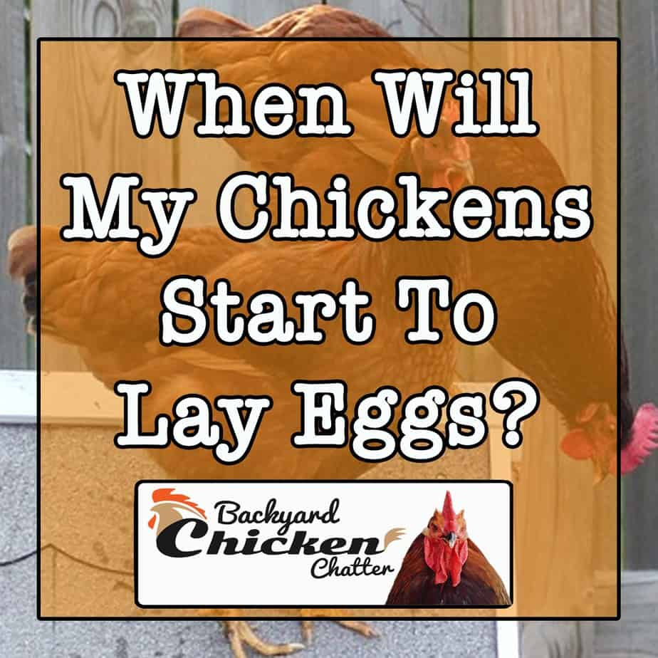 When-Will-My-Chickens-Start-Laying-eggs-