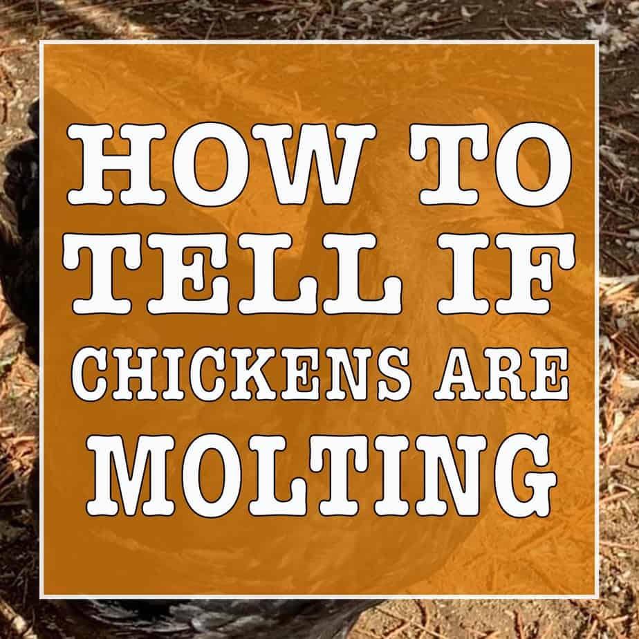 how to tell if chickens are molting