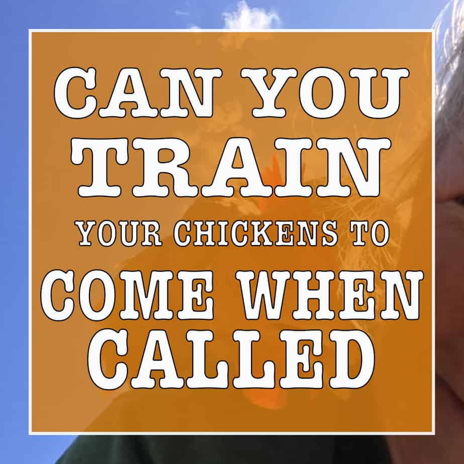 Can you train your chickens to come when called