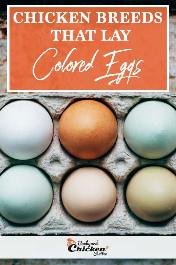 Chicken breeds that lay colored eggs
