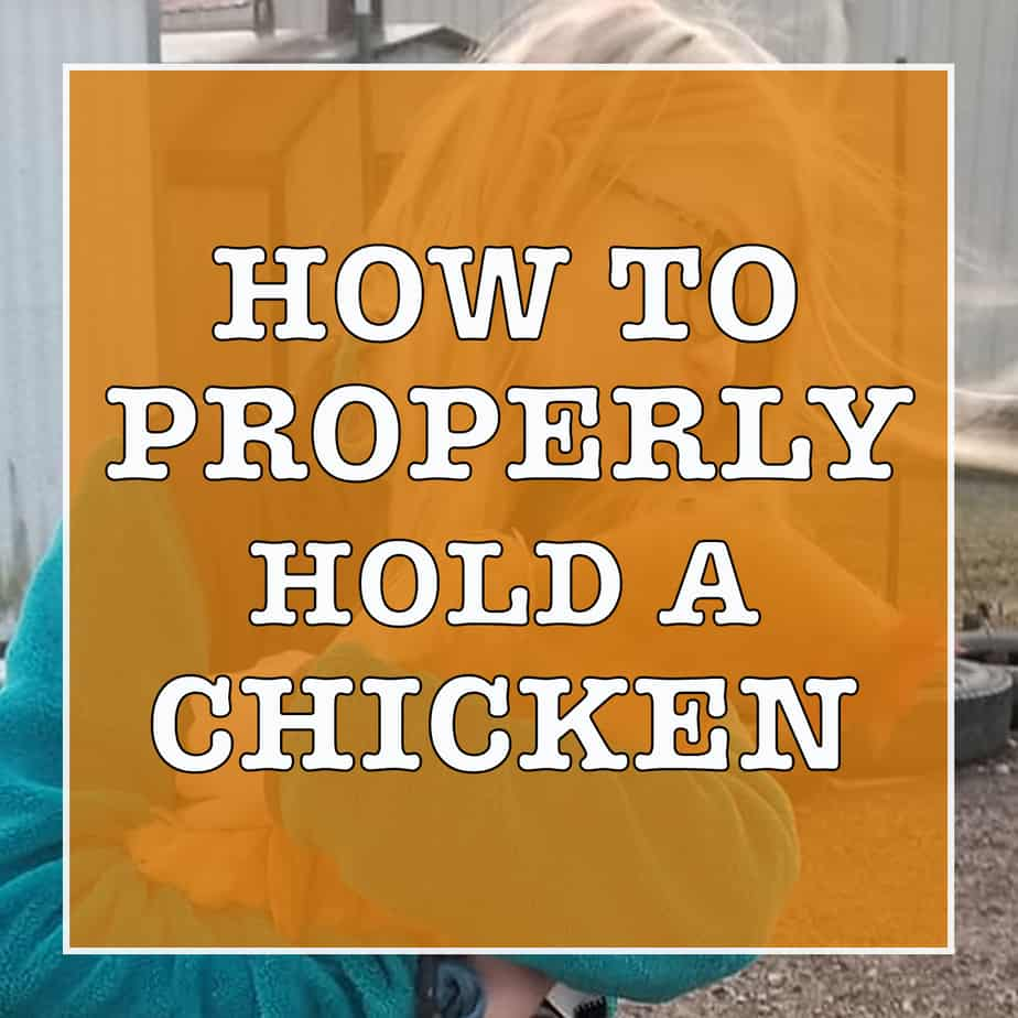 how should you hold a chicken