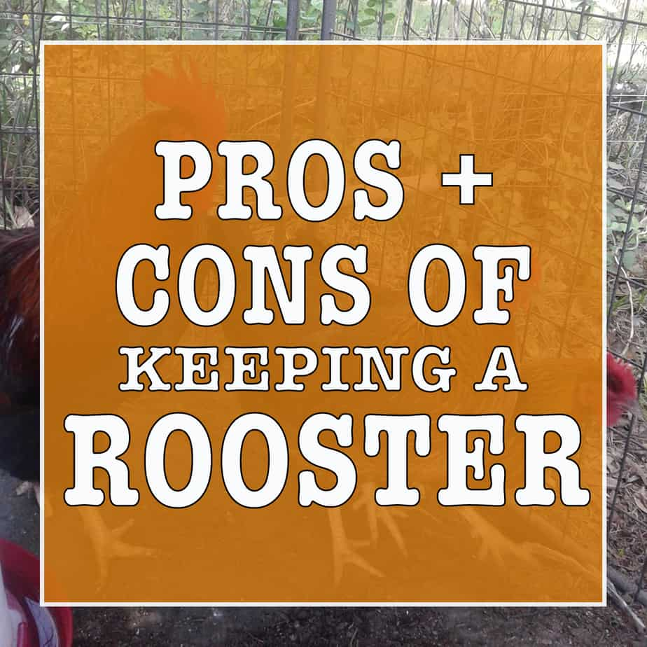 the pros and cons of having a rooster in your flock