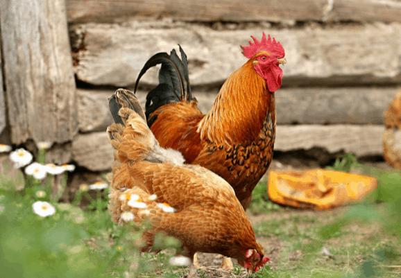Do chickens get fleas?