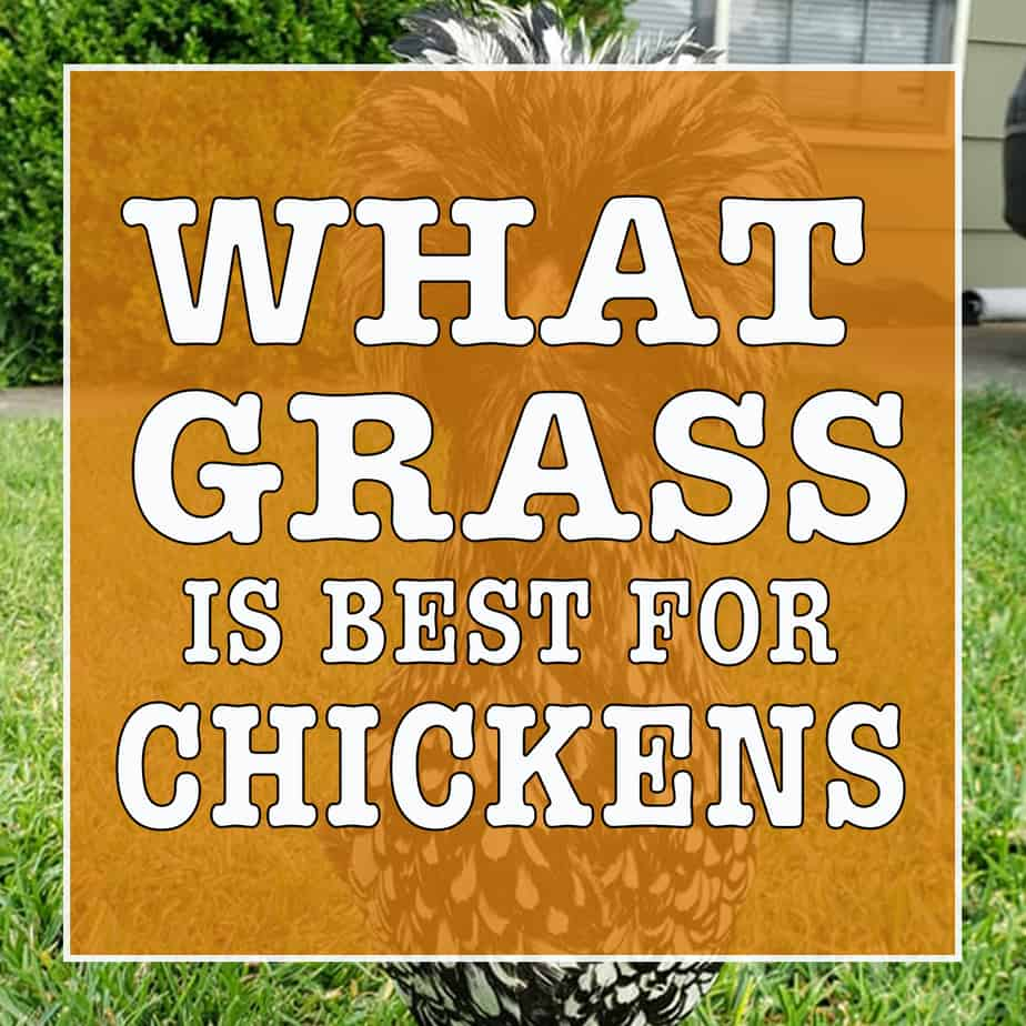what grass is best for chickens?