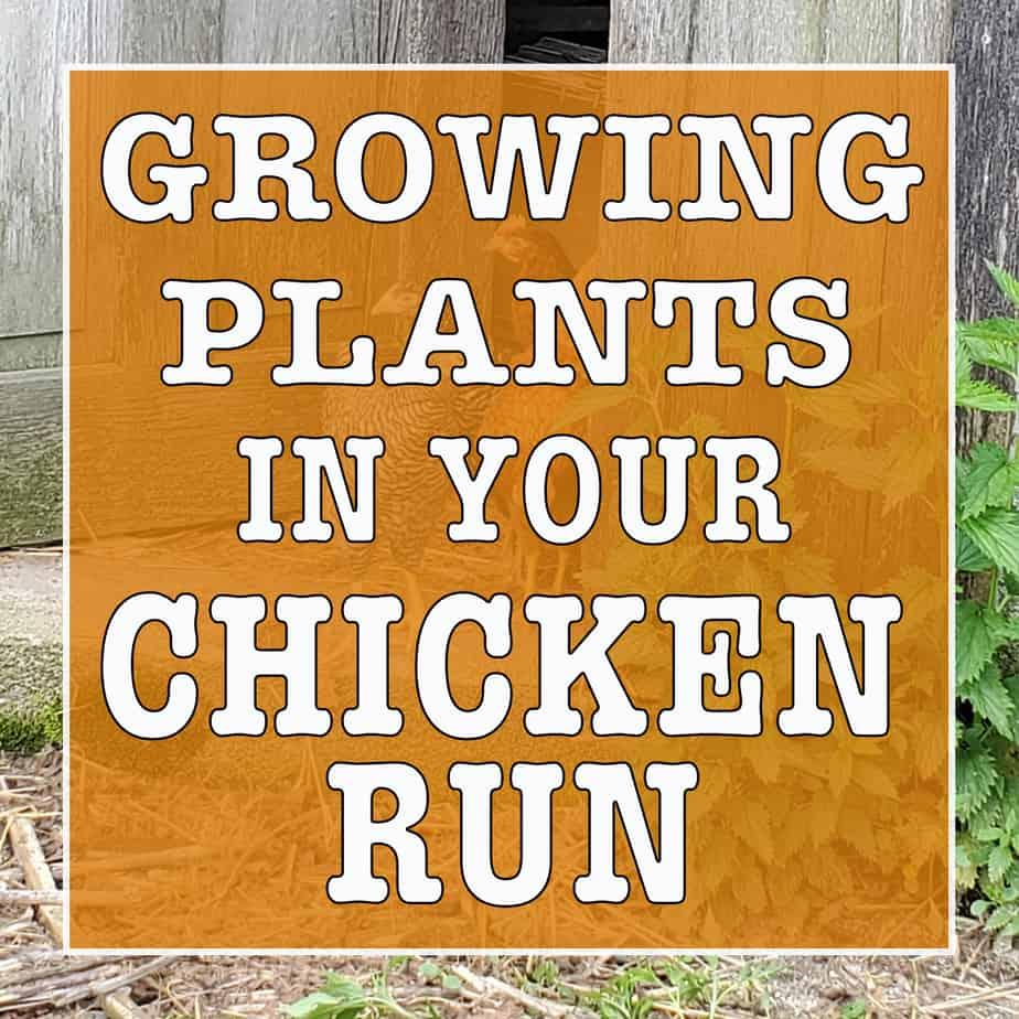 Growing plants in your chicken run
