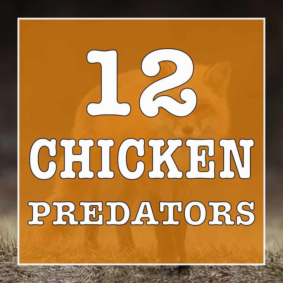 12 CHICKEN PREDATORS
