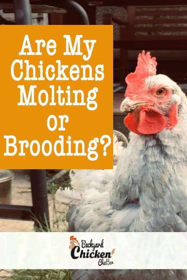 Are my chickens molting or brooding?