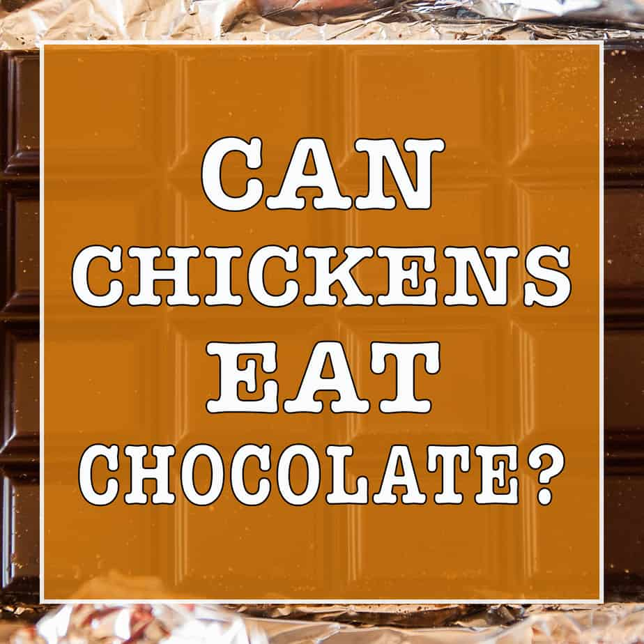 Can Chickens Eat Chocolate?