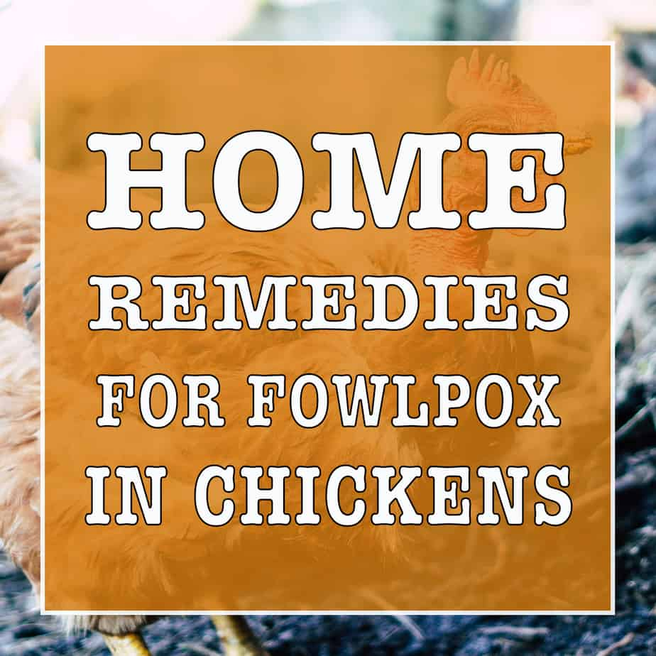12 Home Remedies For FowlPox In Chickens