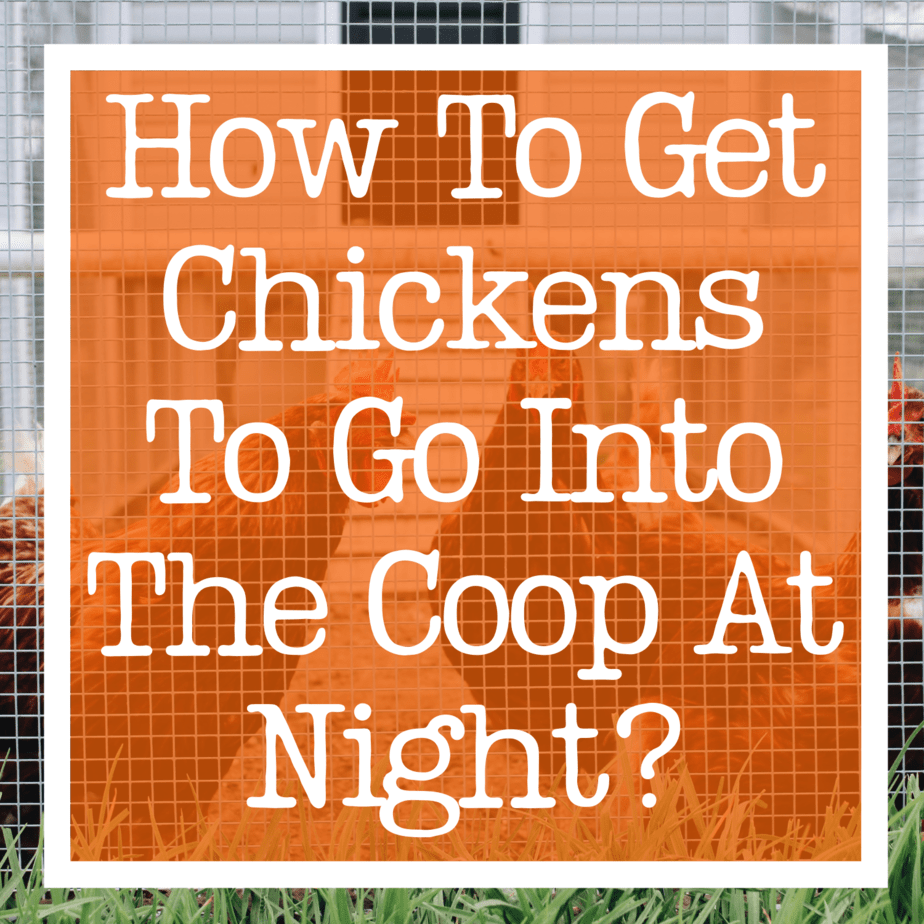How To Get Chickens Into The Coop At Night?