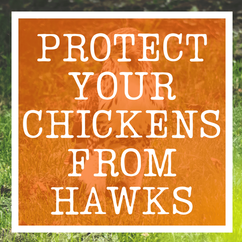 Protect chickens from hawks