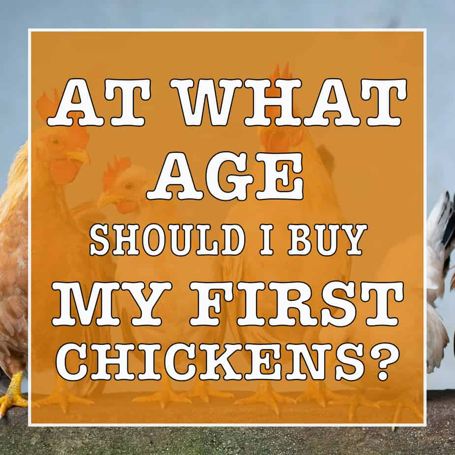 at what age should I buy my first chickens