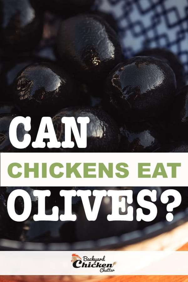 can chickens eat olives