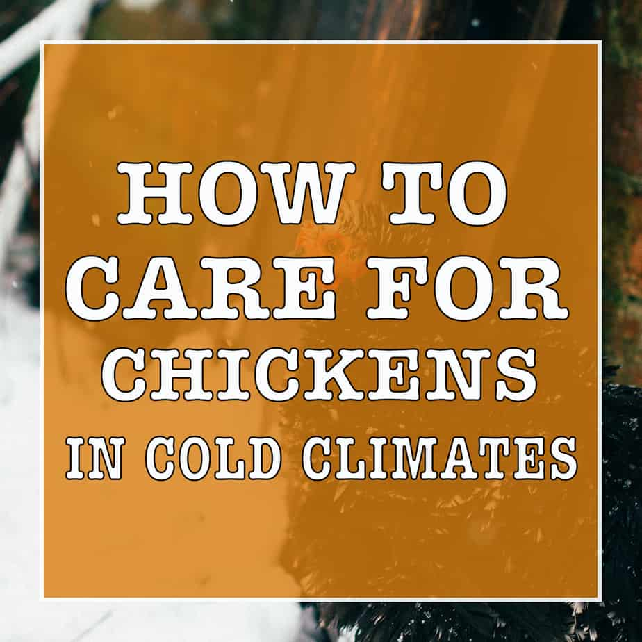 how to care for chickens in cold climates