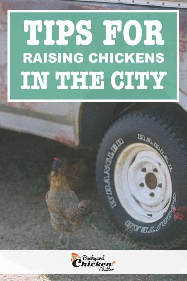tips for raising chickens in the city pin